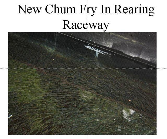 Chum Fish